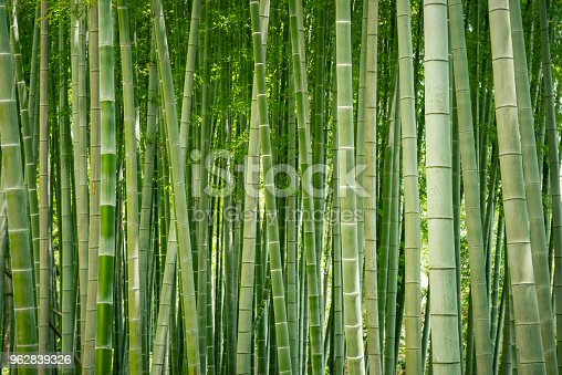 Japanese bamboo grove. Traditional landscape. Japanese garden.