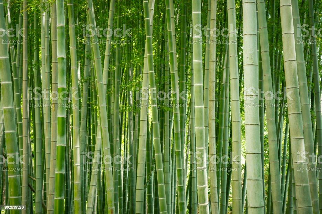 Japanese bamboo grove. stock photo