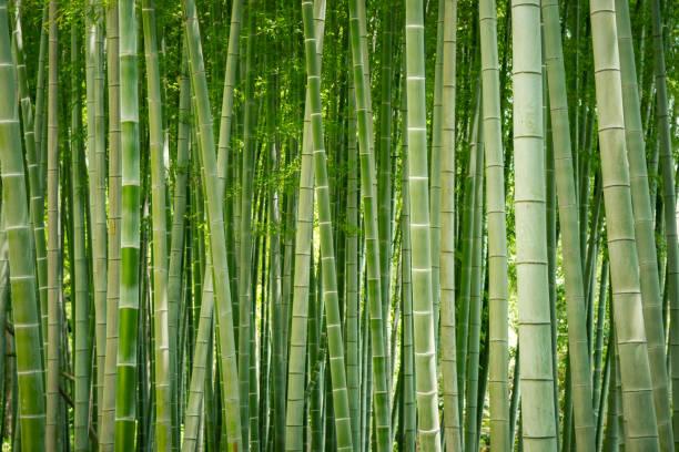 Bosque de bambú japonés. - foto de stock