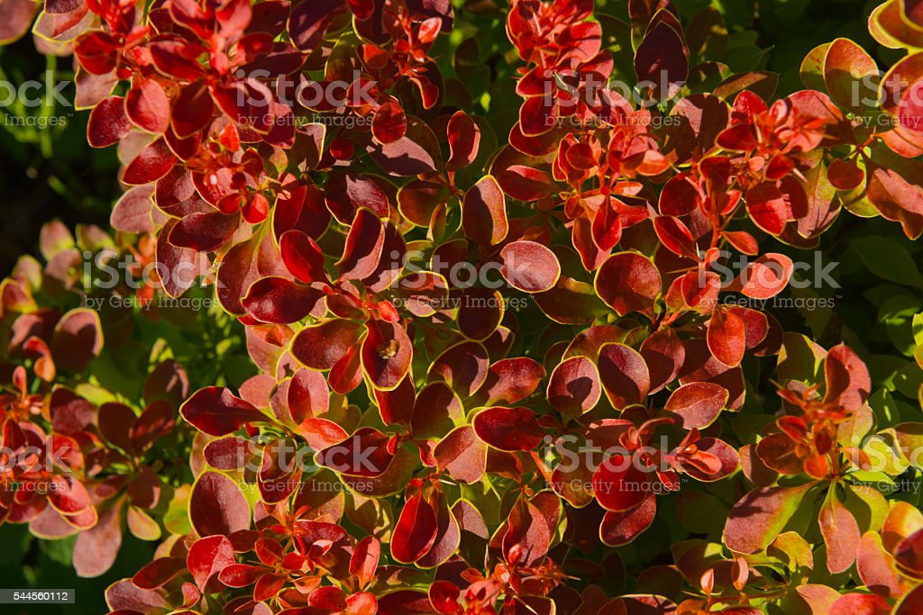 Japanese barberry bush stock photo