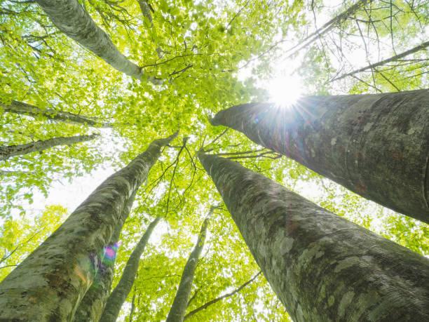 faggio giapponese - forest bathing foto e immagini stock