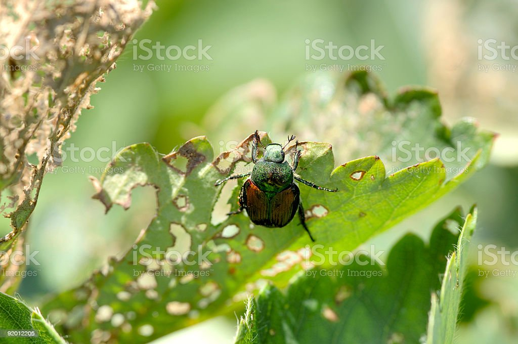 Japanese Beetle - damages a strawberry plant stock photo