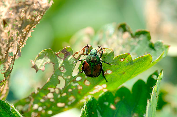 Japanese Beetle - damages a strawberry plant  pest stock pictures, royalty-free photos & images