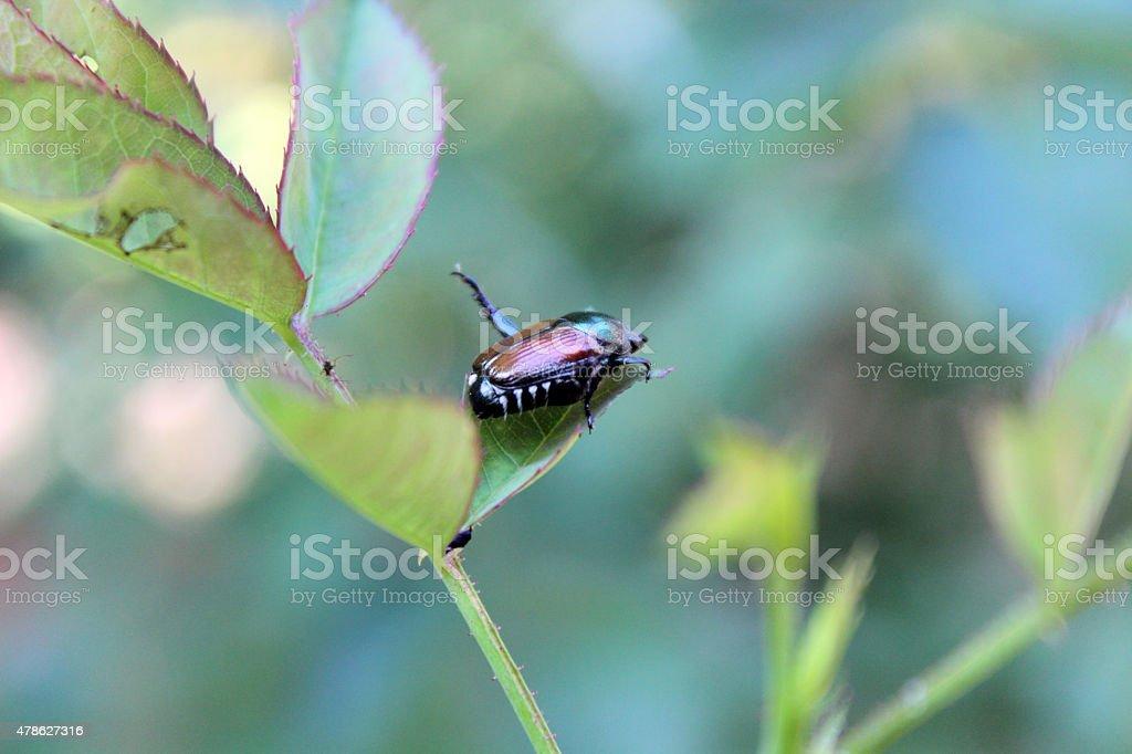 Japanese Beetle Pest Chews on Rose Leaf stock photo