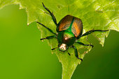 Japanese beetle on a green leaf.