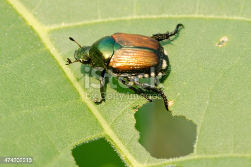 Damage to soybean leaf caused by Japanese beetle (Popillia japonica or Popilla japonica), a scarab beetle. Illinois, USA.