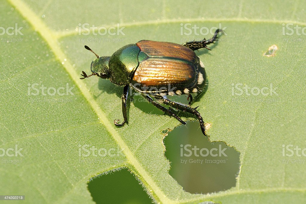 Japanese beetle, Popillia japonica, eating soybean leaf stock photo