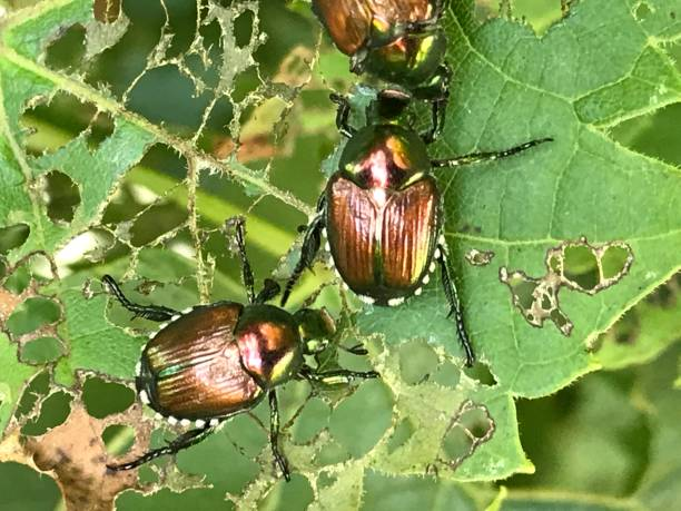 Japanese Beetles Destroy A Plant stock photo