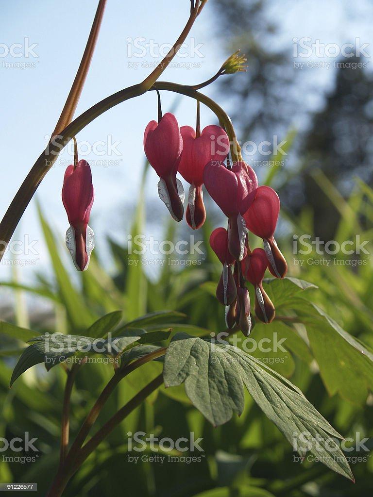 Japanese Bleeding Heart Blooms, Back-lit in Spring stock photo