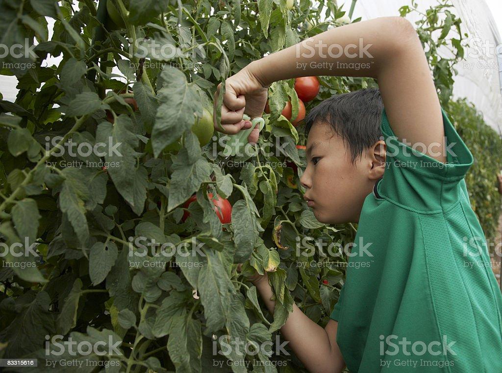 Niño japonés de recolección de tomate foto de stock libre de derechos