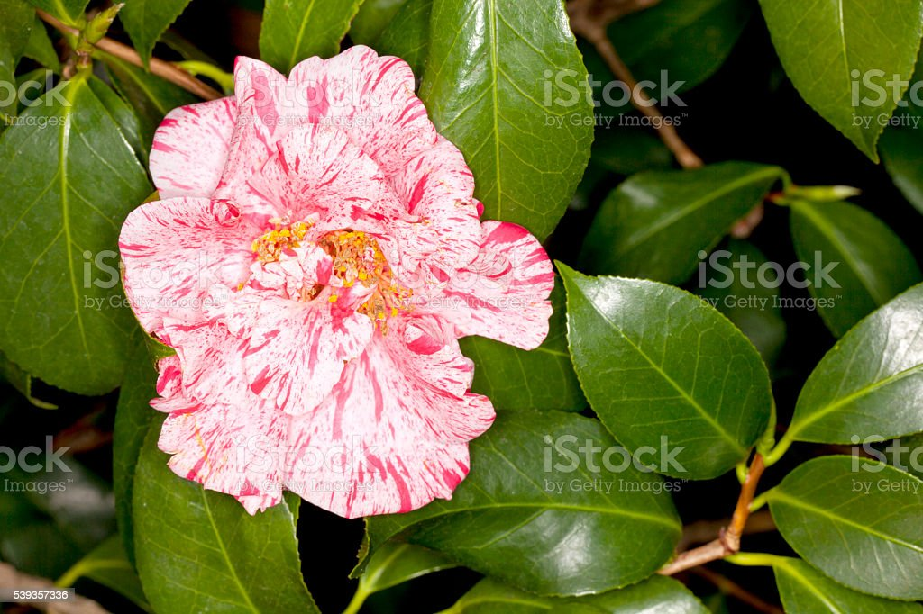 Japanese Camellia -Dahlohnega- (Camellia japonica)Flower stock photo