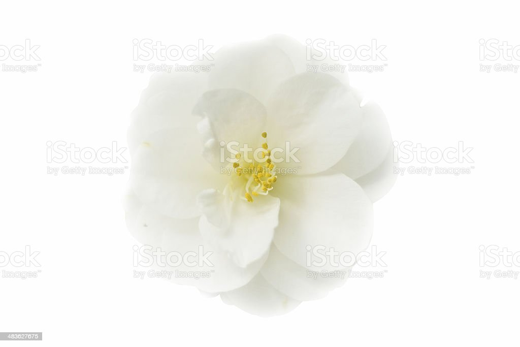 Japanese camellia in full bloom, isolated on white stock photo