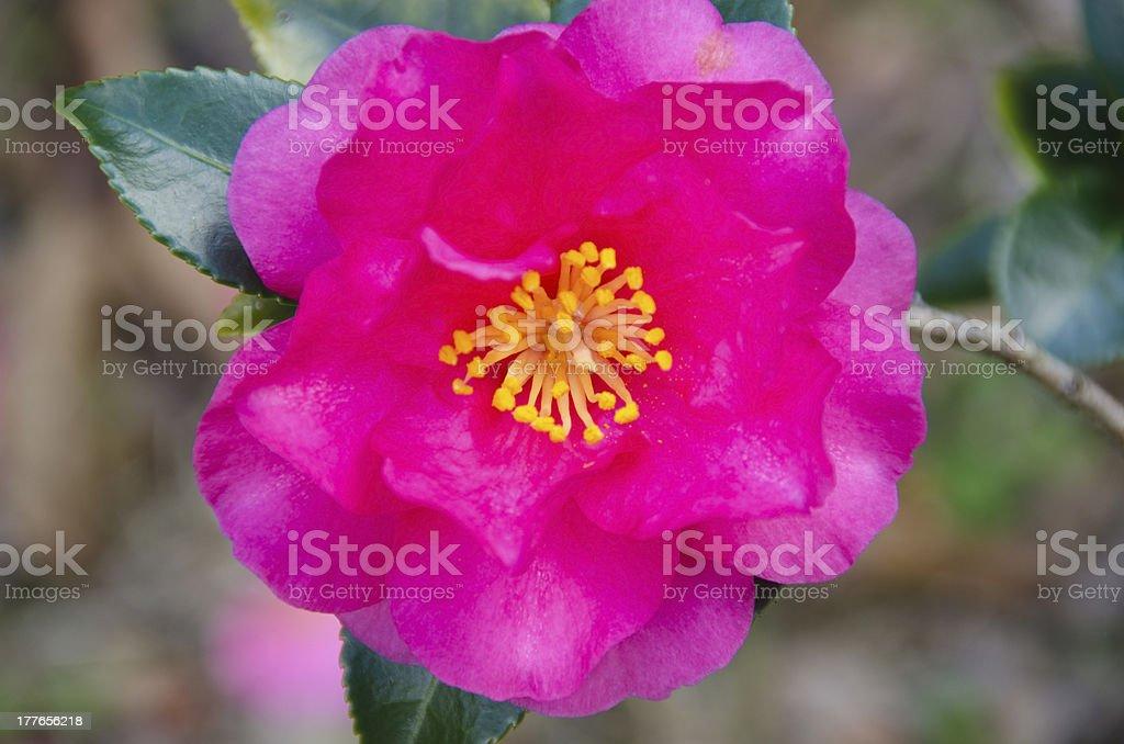 Japanese Camellia japonica stock photo