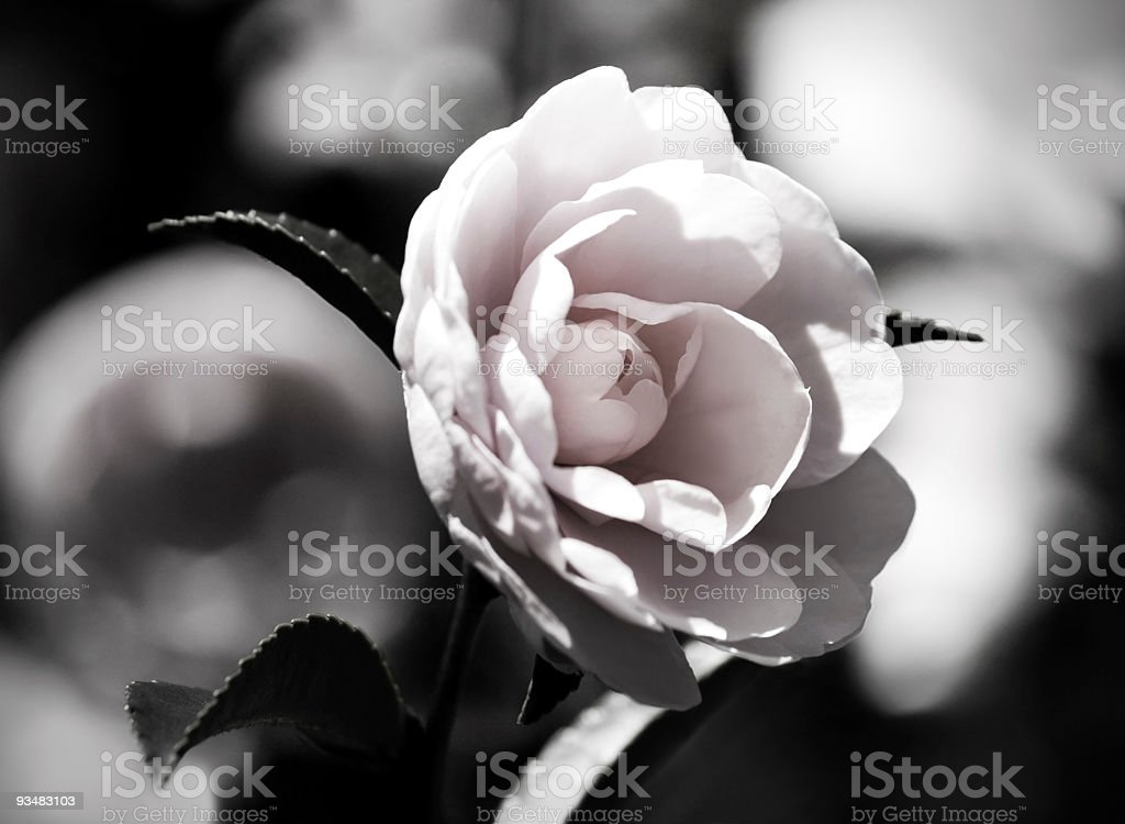 Japanese camellia stock photo