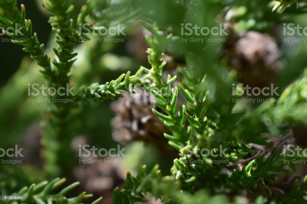 Japanese Cedar Close-Up stock photo