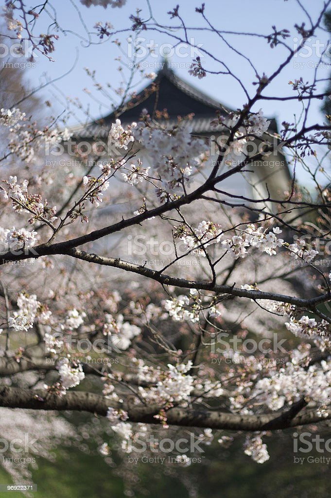 Japanese Cherry Blossom and Castle royalty-free stock photo