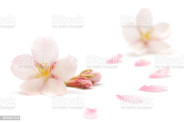 Japanese cherry blossom and petals isolated on white background picture id925587018?b=1&k=6&m=925587018&s=612x612&h=xmbk2jojtoafwr njwbh2iyt9exhl9tlillaiidcwb0=