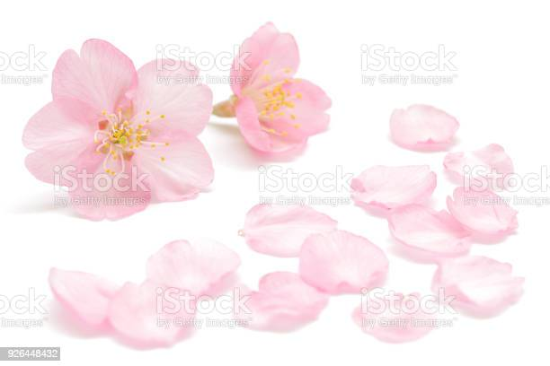 Japanese cherry blossom and petals isolated on white background picture id926448432?b=1&k=6&m=926448432&s=612x612&h=buts3uz yabut phpy7vfa4zbpkxfmqvjyljfzx98vc=