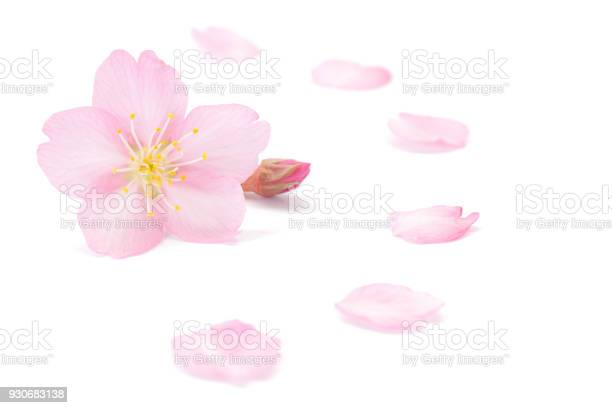 Japanese cherry blossom and petals isolated on white background picture id930683138?b=1&k=6&m=930683138&s=612x612&h=xd8adrqbjbhwmdzajn4bzmlkhxssaqv5gvjfcxa zye=