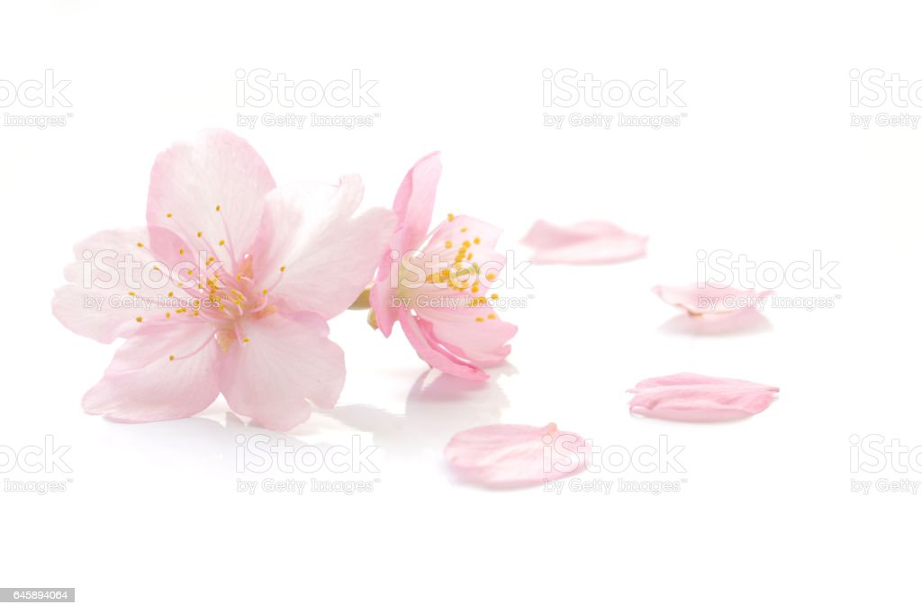 Japanese cherry blossom and petals stock photo