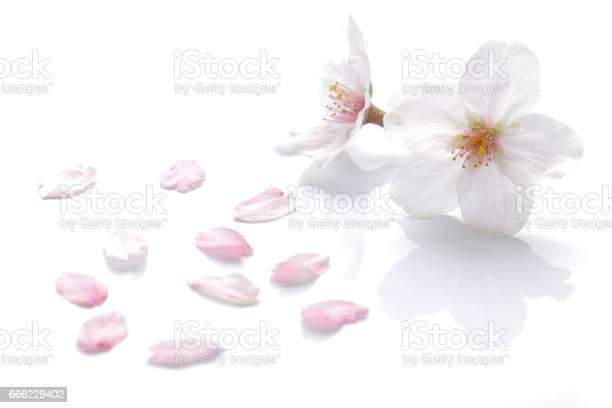 Japanese cherry blossom and petals picture id666229402?b=1&k=6&m=666229402&s=612x612&h=rjnq4o0abulszmziq6oljx6jddtzmzj3qajuo59qb3g=