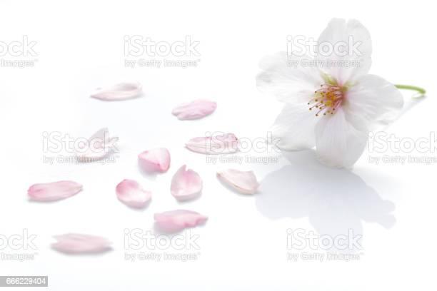 Japanese cherry blossom and petals picture id666229404?b=1&k=6&m=666229404&s=612x612&h=duekn h29fvvrjobxqt95qgoyapaaiuie3cz j1wvhy=
