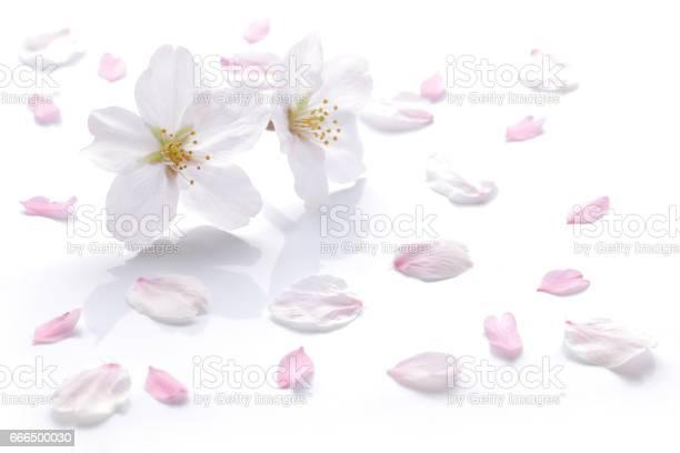 Japanese cherry blossom and petals picture id666500030?b=1&k=6&m=666500030&s=612x612&h=smpfraq7hdttzm8mxjutqvh2olo8lqcnp4ntncu8q u=