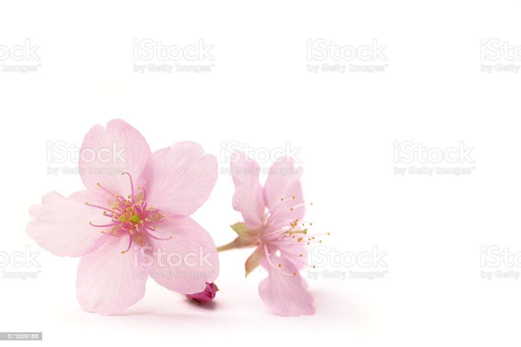 Japanese cherry blossom flowers in the white stock photo