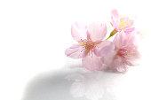 日本の桜の花、花のホワイト#2