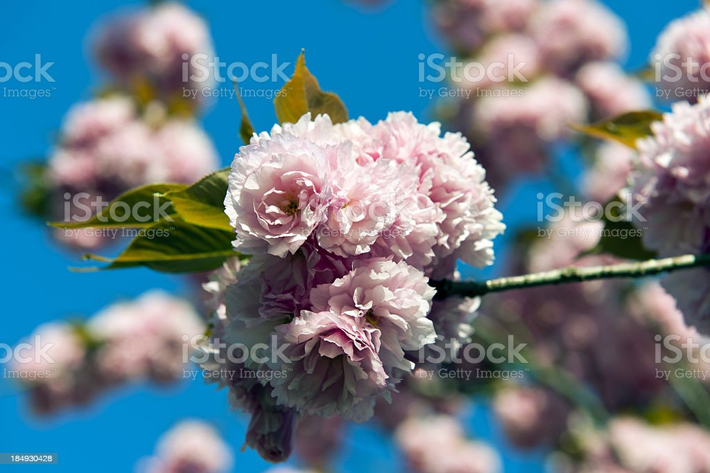 Japanese Cherry Blossom in Slovenia royalty-free stock photo