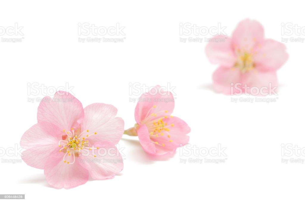 白い背景に分離された日本の桜 - おしべのロイヤリティフリーストックフォト