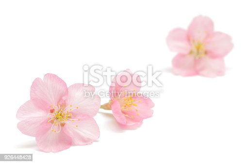 Japanese pink cherry blossom isolated on white background