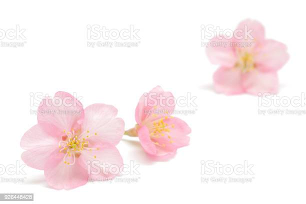 Japanese cherry blossom isolated on white background picture id926448428?b=1&k=6&m=926448428&s=612x612&h=nmppdvjlx tpbmzes jhfdat8jjbvjlb6um64ixt3b4=