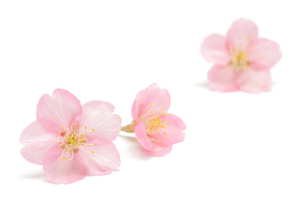 japanese cherry blossom isolated on white background - blossom stock pictures, royalty-free photos & images