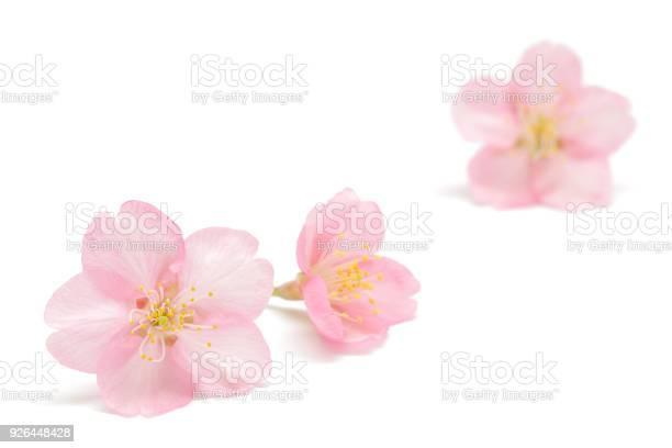 白い背景に分離された日本の桜 - おしべのストックフォトや画像を多数ご用意