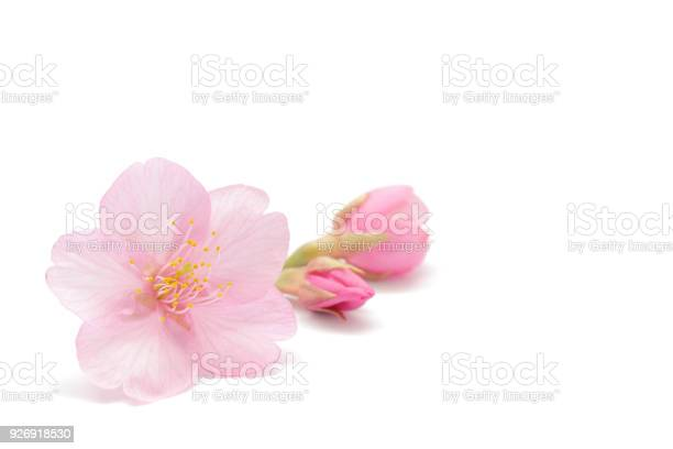 Japanese cherry blossom isolated on white background picture id926918530?b=1&k=6&m=926918530&s=612x612&h=nw5exozy 8qqpggsxjzucyu5vz47mahwqnnujey55b4=
