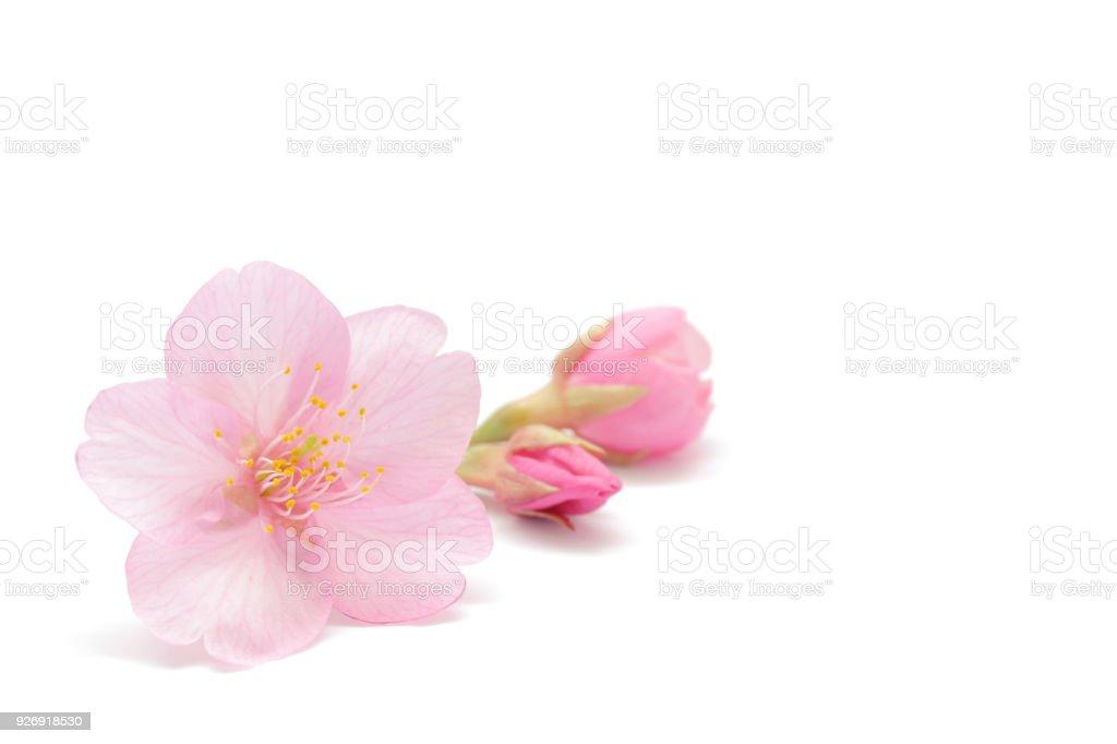 Japanese cherry blossom isolated on white background stock photo