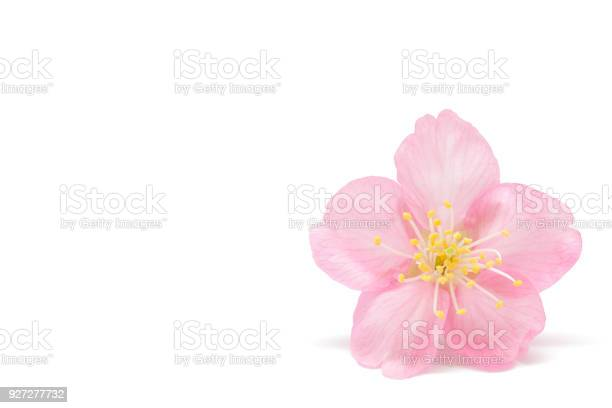 Japanese cherry blossom isolated on white background picture id927277732?b=1&k=6&m=927277732&s=612x612&h=qzbfqoxyn4hebb0efzxhnfmepnmr lj 0jmxjvyr1ca=