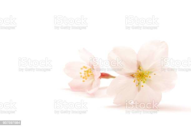 Japanese cherry blossom isolated on white background picture id937597584?b=1&k=6&m=937597584&s=612x612&h=yj4hdeldx8h cjoyq hwa eoiexllrdjwfvuayaae6i=