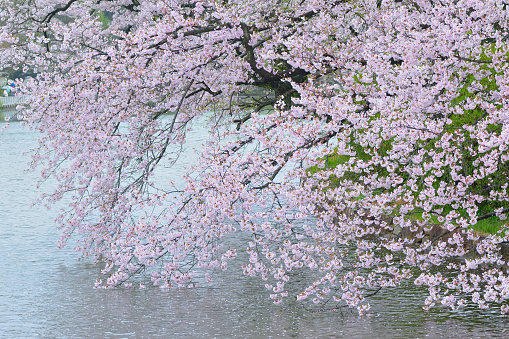 Japanese Cherry Blossom Landscape around pond waters