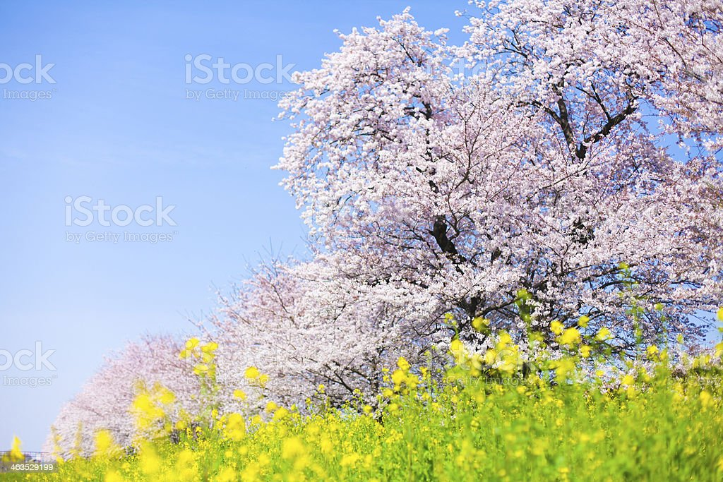 Japanese Cherry Blossom stock photo