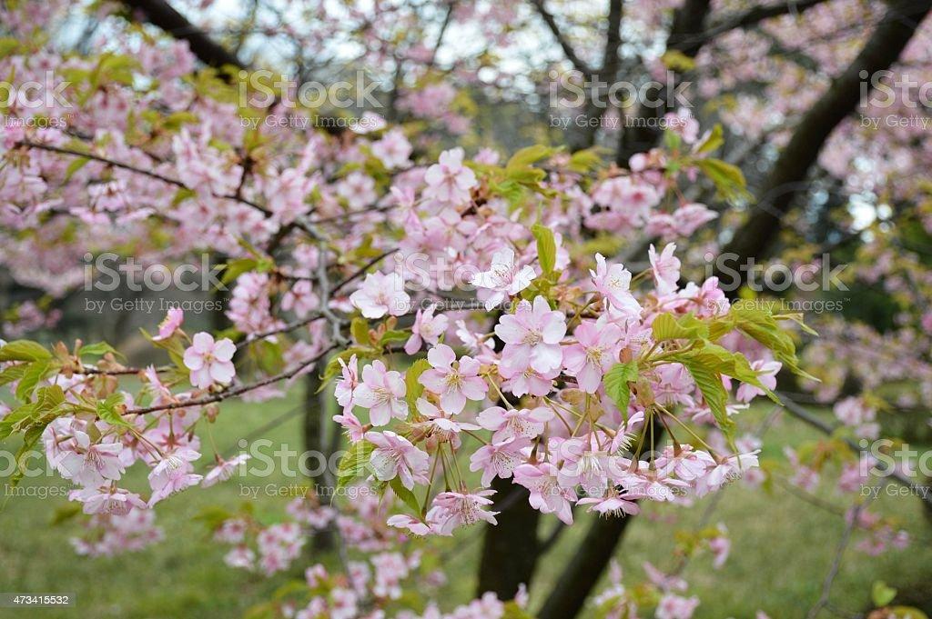 japanese cherry blossom tree stock photo