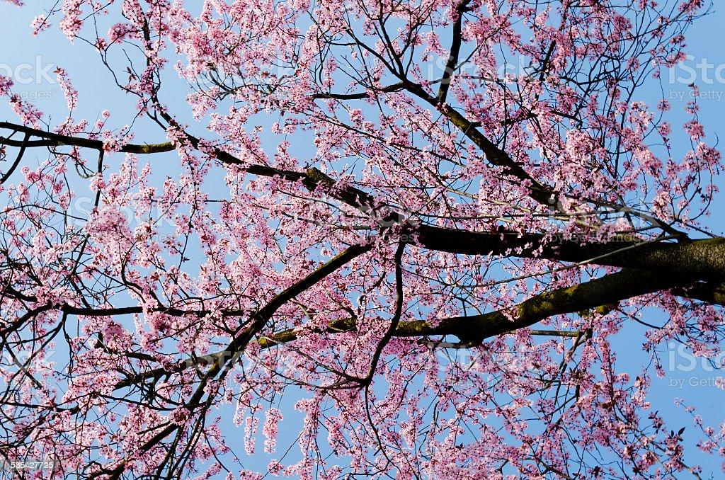 Albero di fiori di ciliegio giapponese fotografie stock for Albero ciliegio