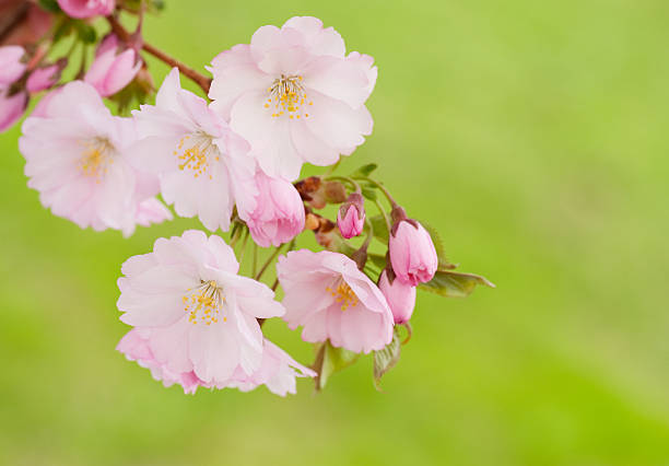 Japanese cherry (Sakura) blossoming in spring stock photo