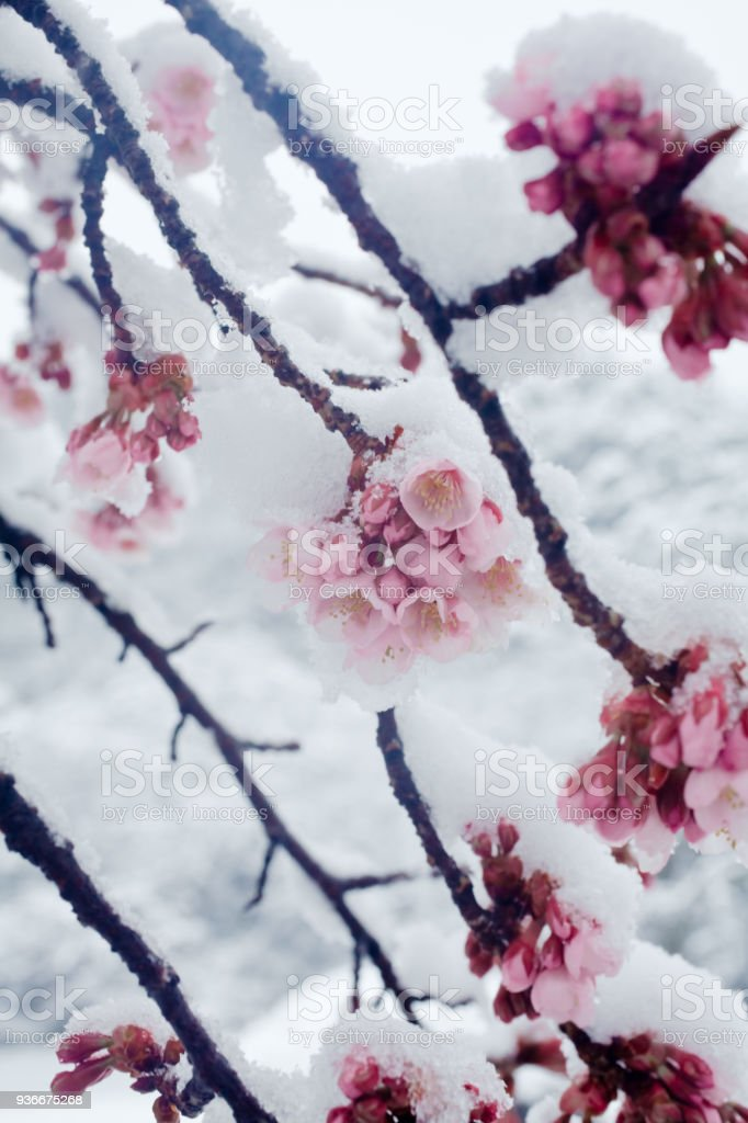 KANZAKURA - Japanese cherry blossoms in the snow stock photo