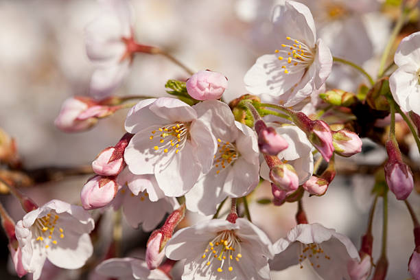 Japanese Cherry Blossoms (close-up) stock photo