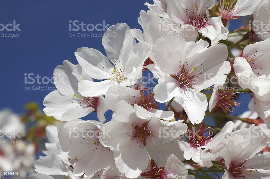 Japanese cherry blossoms, Prunus serrulata royalty-free stock photo