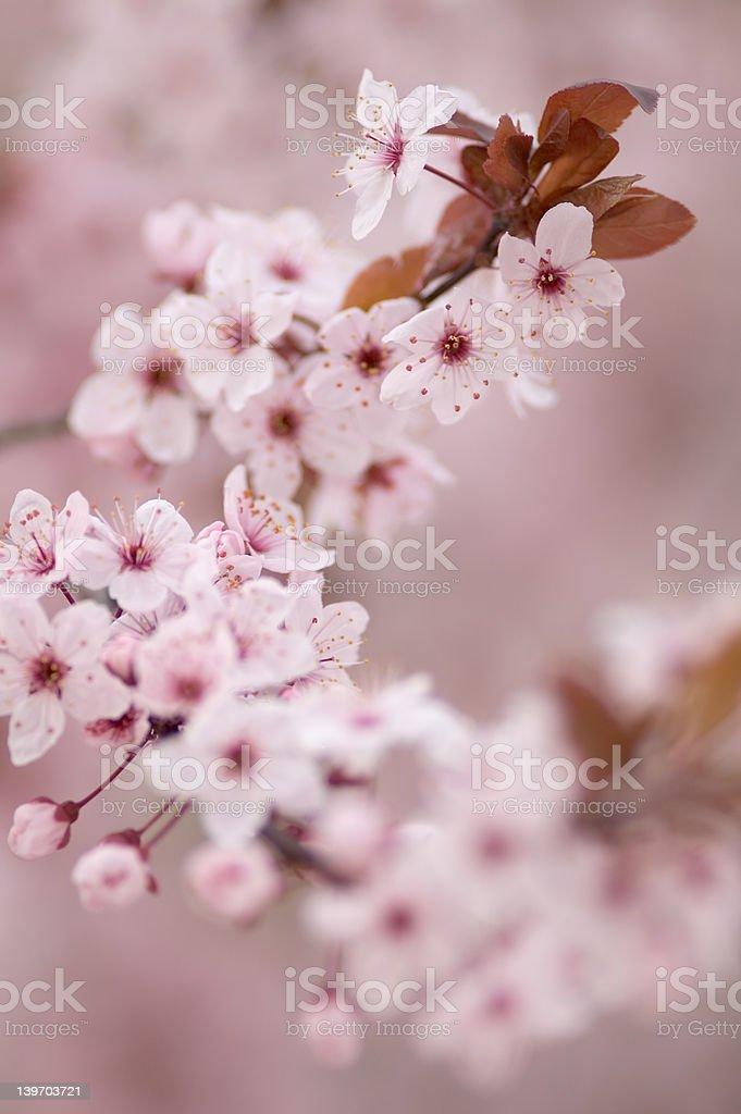 Japanese Cherry Blossum royalty-free stock photo