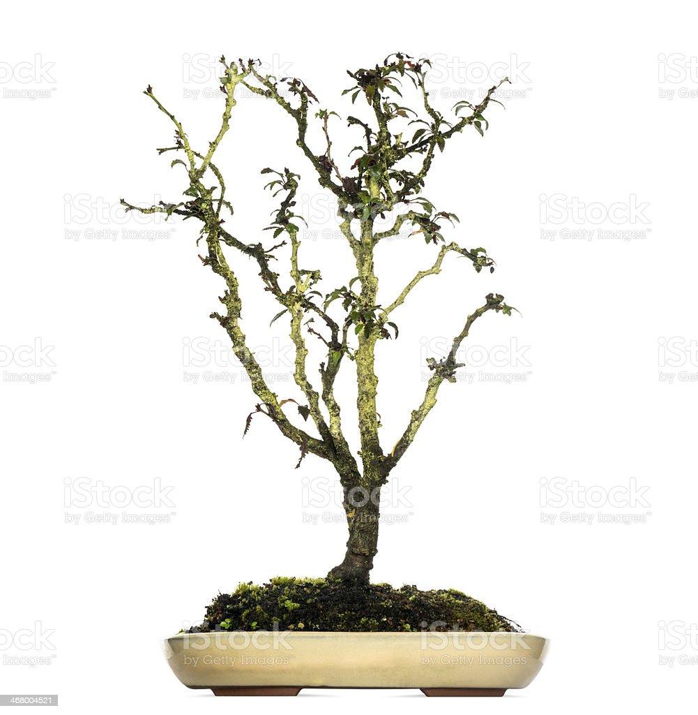 Japanese Cherry Bonsai Tree Prunus Serrulata Isolated On White Stock Photo Download Image Now Istock