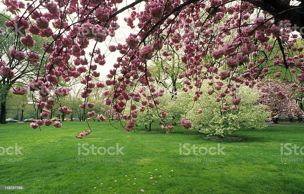Japanese cherry tree royalty-free stock photo